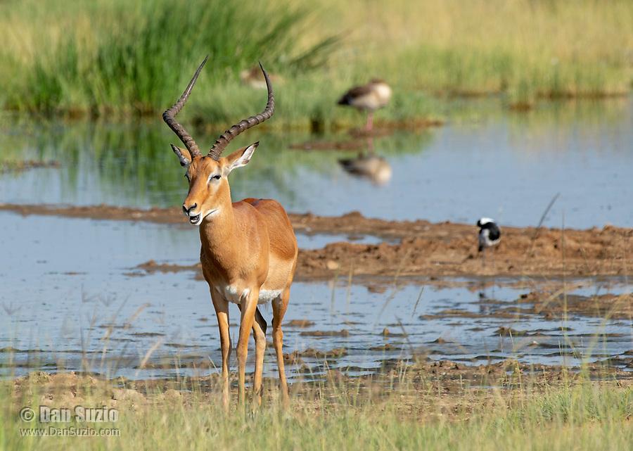 A Common Impala, Aepyceros melampus melampus, stands near a pond in Lake Nakuru National Park, Kenya