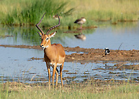 A Common Impala, Aepyceros melampus melampus, stands near a pond in Lake Nakuru National Park, Kenya