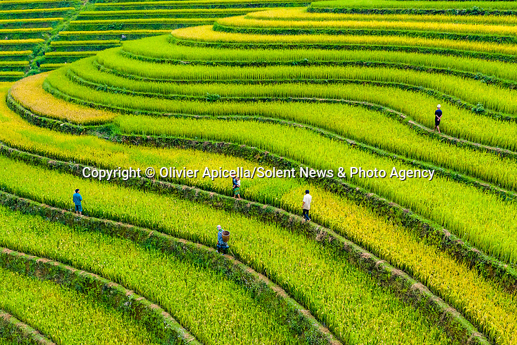 Traditional farmers weave through the rolling landscape on paths as they inspect their vivd green rice plantation in northern Vietnam.<br /> <br /> The pictures were taken by Olivier Apicella and shows the farmers, who are all from the same family getting ready to harvest the rice in Mu Cang Chai, Vietnam. <br /> <br /> Please byline: Olivier Apicella/Solent News<br /> <br /> © Olivier Apicella/Solent News & Photo Agency<br /> UK +44 (0) 2380 458800