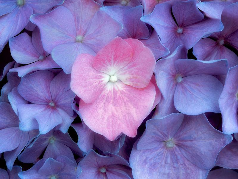 Close up of hydrandia flowers. Oregon