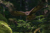 Northern Spotted Owls are an endangered owl that inhabits ancient forests with cathedral-like canopies where rays of the sun sift through several canopies before reaching the moist, mossy ground.