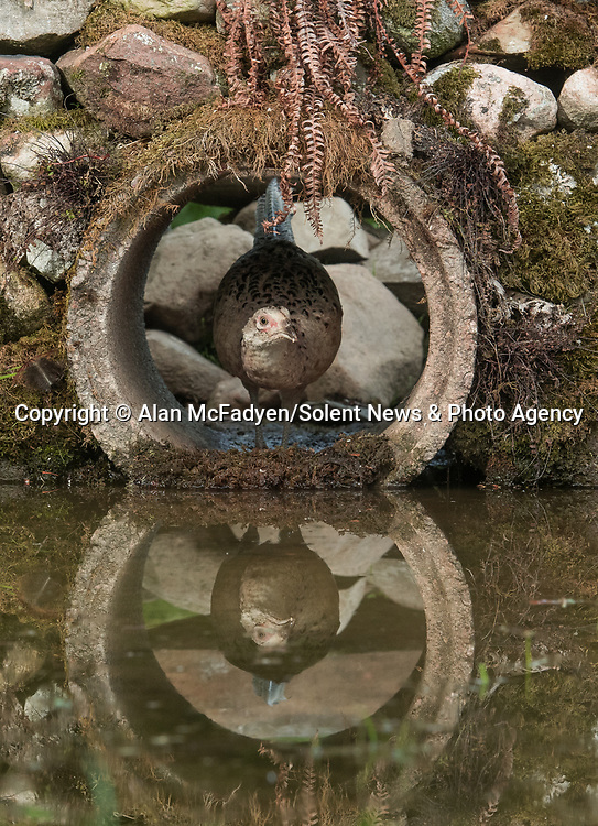 Pictured: A  female phesant peeks out of the tunnel<br /> <br /> A series of animals are perfectly reflected in a pool of water as they peek their heads out of a tunnel.<br />    The array of wildlife - from a red squirrel to a badger - seek refuge from the hot weather in the drainage pipe.<br />  <br /> Visitors to the 18-inch wide tunnel and the surrounding small pool include a blackbird, a great spotted woodpecker, an otter and a family of blue tits.    Photographer Alan McFadyen pictured the animals near his home in Kirkcudbright, Scotland.   SEE OUR COPY FOR DETAILS<br /> <br /> Please byline: Alan McFadyen/Solent News<br /> <br /> © Alan McFadyen/Solent News & Photo Agency<br /> UK +44 (0) 2380 458800