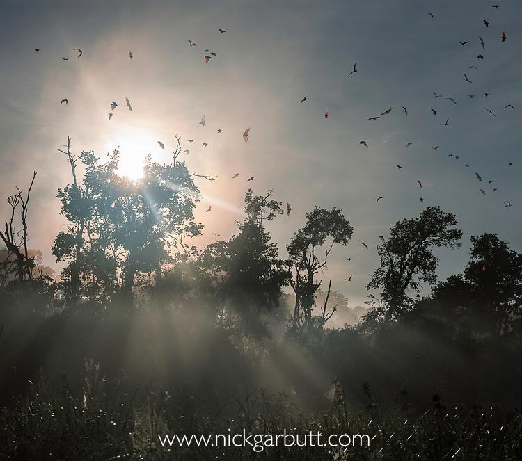Straw-coloured fruit bats (Eidolon helvum) returning to daytime roost at sunrise. Kasanka National Park, Zambia.