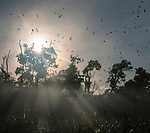 Straw-coloured fruit bats (Eidolon helvum) returning to daytime roost at sunrise. Kasanka National Park, Zambia.