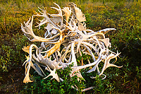 A pile of mixed antlers, Moose, Alces alces, and Caribou, Rangifer tarandus, in the Northwest Territories. Canada, Arctic