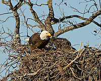 Adult bald eagle feeds eaglet in nest near Llano, TX.  Spring 2008