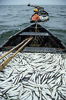 "Europa Deutschland DEU Insel Ruegen Ostsee , Reusenfischer beim Heringsfang . -  Fischerei Fisch Hering Fischer xagndaz | .Europe Germany GER  .fishermen catch Herring fish at baltic sea near island Rugia  -  fisheries fisherman fishing fish.| [ copyright (c) Joerg Boethling / agenda , Veroeffentlichung nur gegen Honorar und Belegexemplar an / publication only with royalties and copy to:  agenda PG   Rothestr. 66   Germany D-22765 Hamburg   ph. ++49 40 391 907 14   e-mail: boethling@agenda-fototext.de   www.agenda-fototext.de   Bank: Hamburger Sparkasse  BLZ 200 505 50  Kto. 1281 120 178   IBAN: DE96 2005 0550 1281 1201 78   BIC: ""HASPDEHH"" ,  WEITERE MOTIVE ZU DIESEM THEMA SIND VORHANDEN!! MORE PICTURES ON THIS SUBJECT AVAILABLE!! ] [#0,26,121#]"
