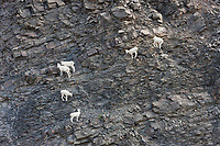 Dall sheep, Atigun Pass, Brooks Range mountains, Arctic, Alaska.