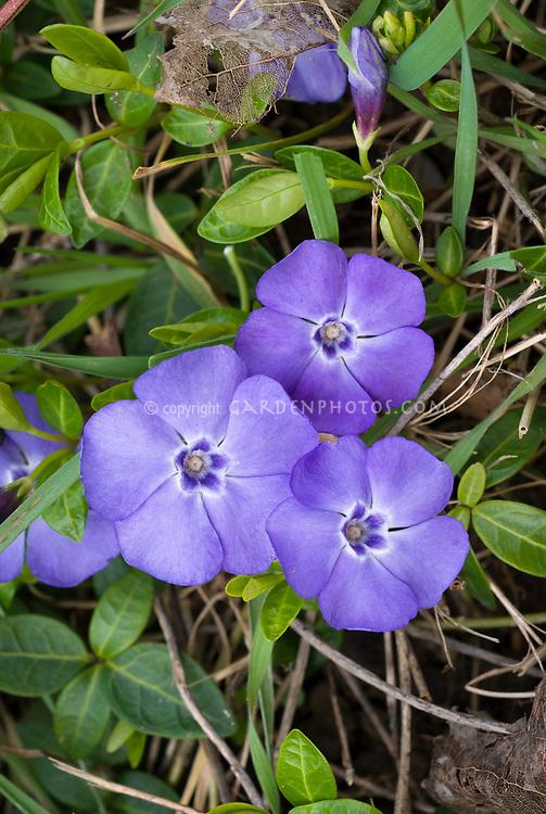 Vinca minor La Grave aka Bowles blooming groundcover