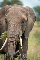 Headshot of an African elephant (Loxodonta africana) feeding on grass in Tarangire National Park, Tanzania