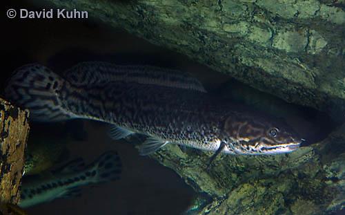 1123-1010  Bowfin (Swamp Muskie or Mudfish), Amia calva  © David Kuhn/Dwight Kuhn Photography