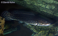 1123-1010  Bowfin (Swamp Muskie or Mudfish), Amia calva  © David Kuhn/Dwight Kuhn Photography