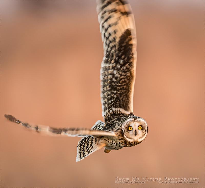 Short-eared Owl hunting over Shawnee Trails CA