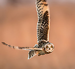 Short-eared Owl hunting over Shawnee Trails CA