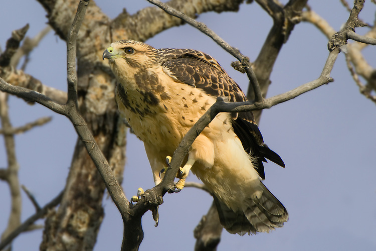 Young Swainson's Hawk testing its balance on a branch