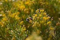 Honeybee (Apis mellifera).  Arizona.  Fall.