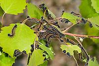 Großer Fuchs, Raupe, Raupen, Nymphalis polychloros, large tortoiseshell, blackleg tortoiseshell, caterpillar, La Grande tortue