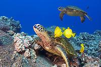 green sea turtles, Chelonia mydas, being cleaned by yellow tang, Zebrasoma flavescens and gold-ring surgeonfish, Ctenochaetus strigosus, (endemic to Hawaii), Kona, Big Island, Hawaii, Pacific Ocean