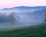 Great Smoky Mountains National Park, TN/NC<br /> Grazing horses and low lying fog at dawn in Cades Cove