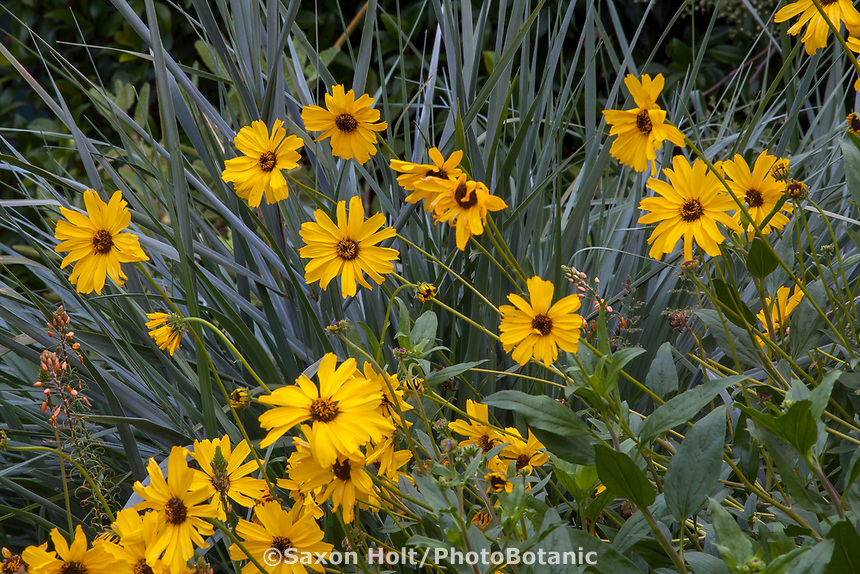 Encelia californica, California brittlebush or Bush Sunflower California native perennial flowering in Gamble Garden, Palo Alto, California