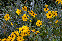 Encelia californica, California brittlebush or Bush Sunflower California native perennial flowering in Gamble Garden, Palo Alto, California