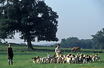 Foxhounds are exercised during the summer when there is no hunting Hampshire UK 2000S