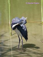 0830-0913  Tricolored Heron Wading in Marsh, Preening (Grooming) Feathers, Louisiana Heron, Egretta tricolor © David Kuhn/Dwight Kuhn Photography