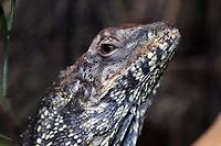 A Frill-necked lizard (Chlamydosaurus kingii) in Beijing Zoo.