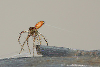Green Lynx Spiderling as it prepares to float off into space, carried by its strand on the wind..