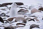 Arctic fox, Manitoba, Canada