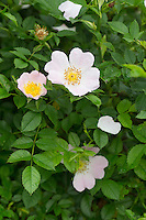 Hunds-Rose, Hundsrose, Heckenrose, Wildrose, Rose, Rosa canina, Common Briar, Dog Rose, Eglantier commun, Rosier des chiens
