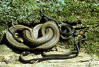 1R01-007z  Red-bellied Snake - giving live birth - Storeria occipitomaculata