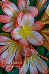 Clivia, Amaryllidaceae, Kaffir Lily, Cypress Garden, Mill Valley, California.psd