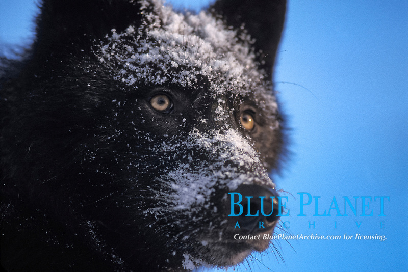 gray wolf, Canis lupus, female with a black coat in the foothills of the Takshanuk mountains, northern southeast Alaska