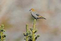 Pine Grosbeak (Pinicola enucleator)--I believe an immature male in October.  Northern Rockies.
