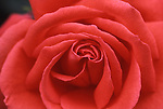 Red Rose, Blossom....[ For each utilisation of my images my General Terms and Conditions are mandatory. Usage only against use message and proof. Download of my General Terms and Conditions under http://www.image-box.com or ask for sending. A clearance before usage is necessary...Material is subject to royalties. Each utilisation of my images is subject to a fee in accordance to the present valid MFM-List...Contact | archive@image-box.com | www.image-box.com ]