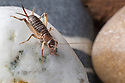 Scaly Cricket female (Pseudomogoplistes vicentae) amongst shingle. England, UK. April. Captive.