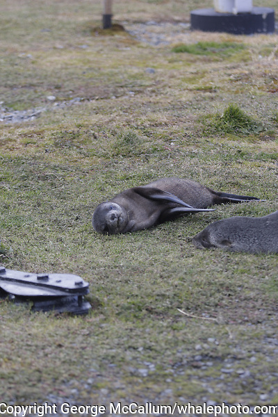 Antarctic Fur seal, Arctocephalus gazella ,pups lying on grass at Gryviken whaling station South Orkney Islands, Scotia sea Southern Ocean, Antarctica