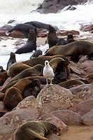 Kelp Gull calling in Cape Cross Fur Seal Colony, Namibia