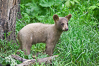 Cinnamon Black Bear cub standing amongst the greenery of the forest