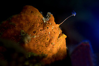 Painted Frogfish (Antennarius pictus) in the Lembeh Strait