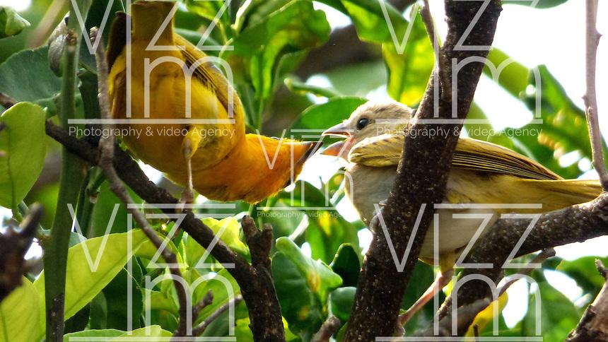 CALI - COLOMBIA, 30-06-2016: Canario Comun, especie de ave presente en el norte de Cali. / Canario Comun, bird species present in north of Cali Photo: VizzorImage / Dario Ramirez / Cont.