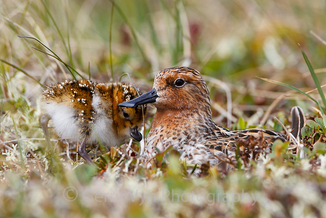 The only known wild nest to hatch in 2011. Newly hatched Spoon-billed Sandpiper chick and incubating male. 4 eggs hatch over a 24-36 hour period. Once they hatch the female migrates south leaving the chicks with the male. Once the chicks are mature enough, the male leaves them too. They instinctually find their way south. Chukotka, Russia. July.