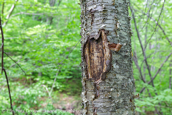 May 2015 - A tree wound on a yellow birch tree along the Mt Tecumseh Trail in New Hampshire. Proper trail blaze removal protocol was not used when a painted trail marker (blaze) was removed from this tree, and this is the ending result. The blaze was painted on the tree in 2011, and then improperly removed from the tree in the spring of 2012. The bark, where the blaze was, was cut and peeled away creating a tree wound.