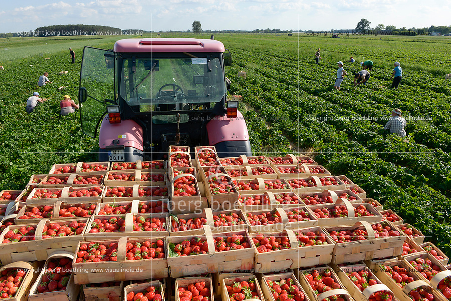 POLAND strawberry harvest, it is difficult to get worker in the agriculture as many polish going to west europe for work, strawberries in basket / POLEN, Saisonkraefte bei der Erdbeer Ernte, Erdbeeren im Korb