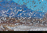 Snow Geese and Mallards in Flight over the Farm Fields, Bosque del Apache Wildlife Refuge, New Mexico