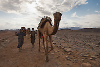 salt camel caravan  carry the hay to feed themselves going to the salt mine in Dallol Ethiopia