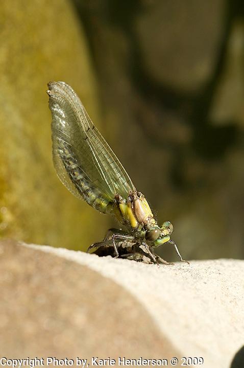 Dragon fly just after metamorphosis. Photo by, Karie Henderson © 2009