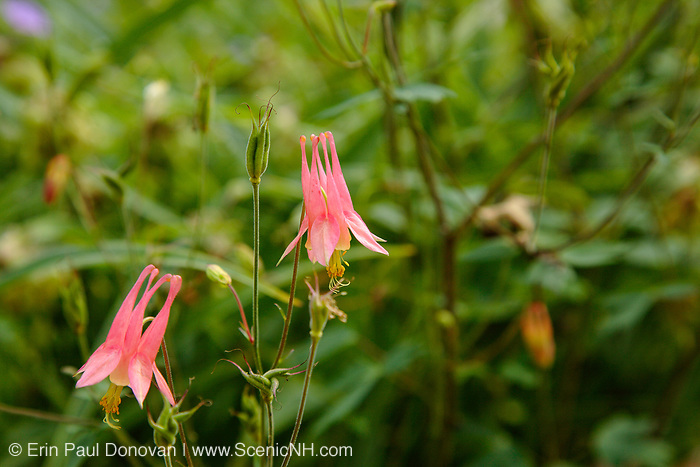 Wild Columbine -Aquilegia canadensis- during the summer months in a New England forest