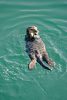 Southern sea otter, Enhydra lutris nereis, pup holding a stone, Monterey, California, USA, Pacific Ocean, national marine sanctuary, endangered species, vertical